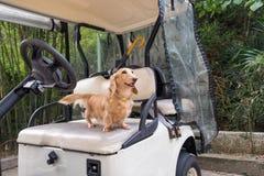 Gesundes junges beige Dachshundgehen im Freien am sonnigen Tag Golfmobil ist Elektroauto lizenzfreies stockbild