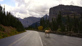 Gesundes männliches wildes Tier Montana Ram Bighorn Sheep Crossing Roads stock video