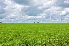 Gesundes Sojabohnen-Feld Stockbilder