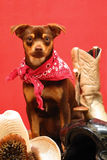 Get along little puppy. Miniature pincher with red bandana and western gear on red background stock images