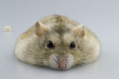 Get down the hamster Royalty Free Stock Photography