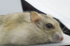 Get down the hamster Royalty Free Stock Photos