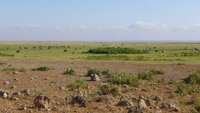 Amboseli national park, next to MT. Kilimanjaro Royalty Free Stock Photo