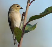 Get a Grip. American Goldfinch male in winter plumage Stock Photos