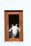 Get i ladugårdfönster Fotografering för Bildbyråer