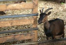 Get i ladugården av lantgården av avelgetter för ostproduc Arkivfoton