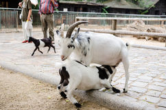 Get och hennes unge, i att dalta zoo Arkivbild