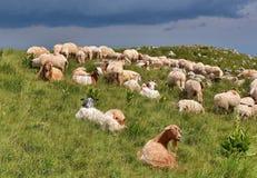Get och sheeps Arkivbilder