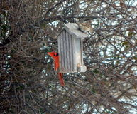 Get off my house. A Cardinal wonders who is trying to eat with him Stock Image
