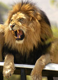 Lion roaring and showing his teeth stock image