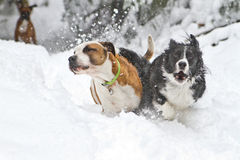 Get out of my way!. A Border Collie zooms past another dog in deep snow Stock Image
