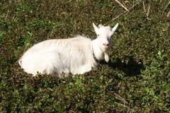 Get på grönt gräs Get med horn Arkivfoto