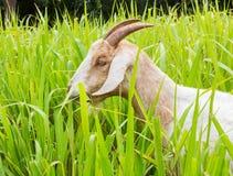Get som äter gräs Arkivfoto