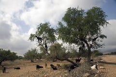 Get som klättrar Argan Trees i Marocko Arkivbild