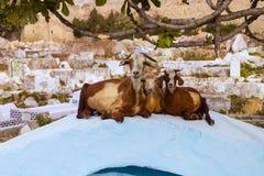 Get som vilar på gravstenen, Tetouan, Marocko Arkivbild
