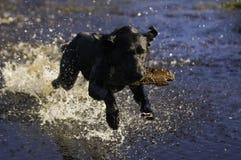 Get that stick. A black Labrador retriever excitedly returns a stick to be thrown again Stock Photos