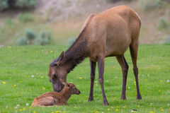 Get up and walk. Mother elk trying to teach newborn get up and walk Royalty Free Stock Photos