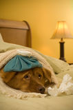 Get well soon. Sick as a dog concept - Dog in bed with scarf and water bottle on its head stock photography