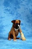 Get well soon... Boxer puppy royalty free stock image
