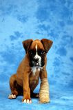 Get well soon. Boxer puppy royalty free stock photography