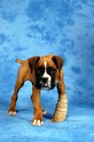 Get well soon. Boxer puppy royalty free stock photos