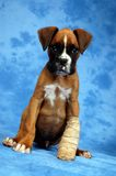 Get well soon. Boxer puppy royalty free stock images