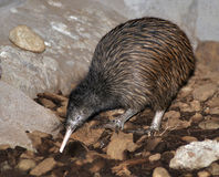 Get that worm!. North Island brown kiwi, Apteryx australis, foraging for worms stock images