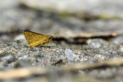 Get yellow dot butterfly in water Stock Image