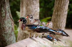 Get your Ducks in a row. Five colorful wood ducks lined up in a row on a boardwalk rail Stock Images