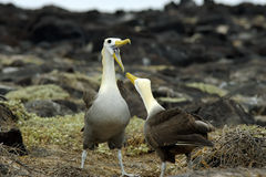 Get Your Message Across!. Two albatross birds facing each other. One bird is with an open beak stock image