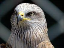 Getaande adelaar stock foto's