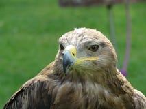 Getaande adelaar stock afbeelding