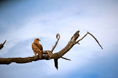 Getaande adelaar Royalty-vrije Stock Foto's