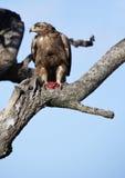 Getaande Adelaar met prooi, Masai Mara Royalty-vrije Stock Afbeelding