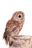 Getaande of Bruine die Uil op wit wordt geïsoleerd Royalty-vrije Stock Foto's