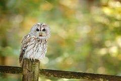 Getaande die uil in de bos Bruine uilzitting wordt verborgen op boomstomp in de donkere boshabitat met vangst Mooi dier in aard Stock Afbeelding