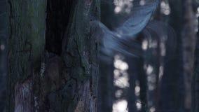 Getaande uilzitting in de holte in de boom in de herfst en het wegvliegen stock videobeelden