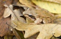 Getarnter Frosch lizenzfreies stockbild