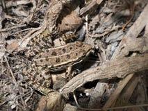 Getarnter Frosch Stockbild