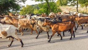 Getdjur många på vägen Arta Greece Arkivbild