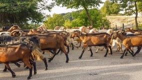 Getdjur många på vägen Arta Greece Royaltyfria Bilder