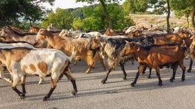 Getdjur många på vägen Arta Greece Royaltyfri Foto