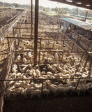 Geten och får auktionerar bort kreatursinhägnaden i Fredericksberg, Texas Arkivfoton