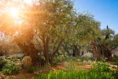 Gethsemane橄榄果树园庭院  库存照片
