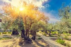 Gethsemane橄榄色的果树园,庭院位于脚  免版税图库摄影
