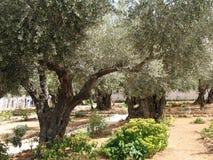 Gethsemane耶路撒冷庭院  免版税库存图片