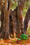 In Gethsemane Garden  in Jerusalem. The ancient tree split by a lightning,  in Gethsemane Garden  in Jerusalem Stock Images