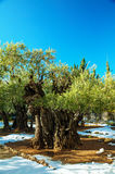 Gethsemane garden in Jerusalem Royalty Free Stock Photos