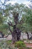Gethsemane Garden at Mount of Olives, Jerusalem, Israel Royalty Free Stock Photography