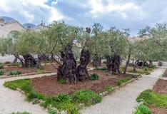 Gethsemane Garden at Mount of Olives, Jerusalem, Israel Stock Photography